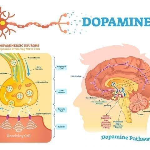 Comment pouvez-vous générer plus de dopamine ? Plongez directement dans le circuit du plaisir !