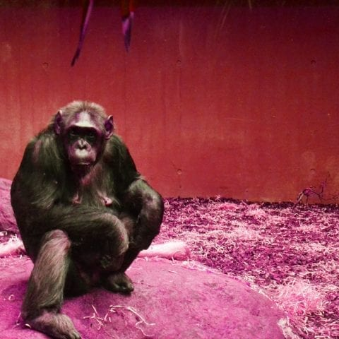 The first two years of life are what make us smarter than chimps